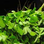 Les graines de fenugrec : pourquoi les consommer ?